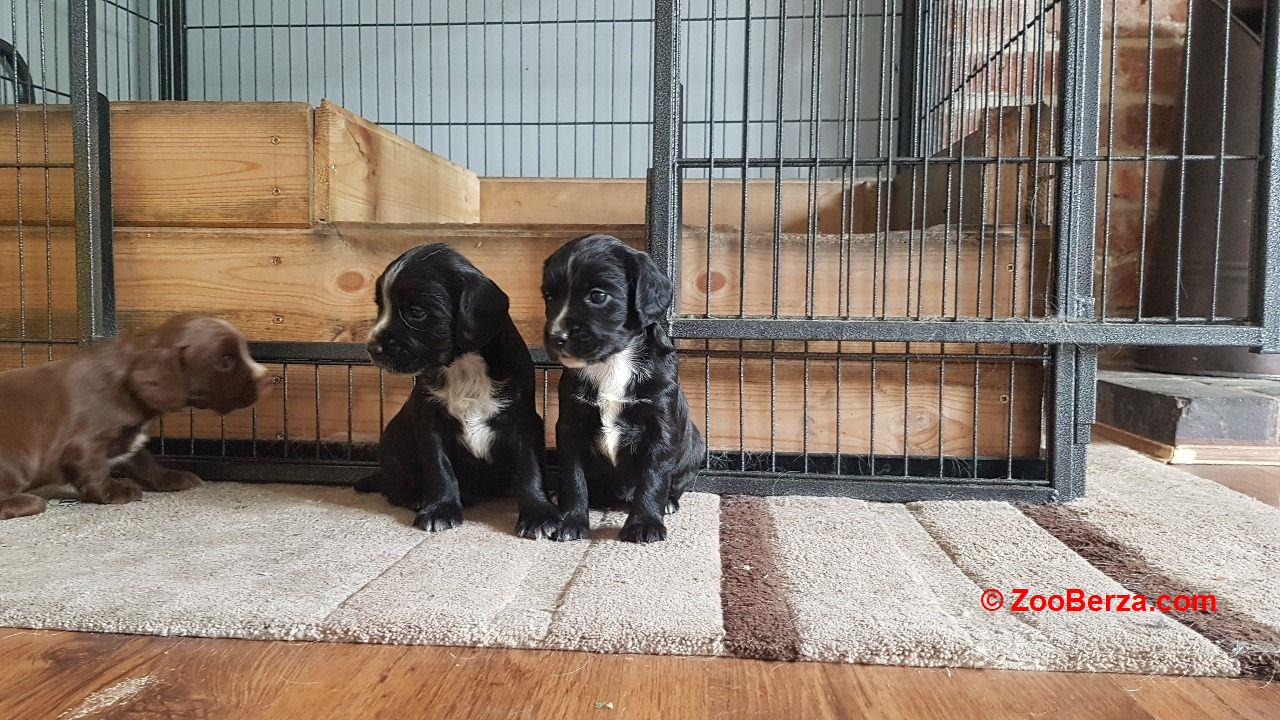 Beautifu cocker spaniel puppy's